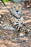 Gepard na smyczu w zoo ogródzie Obrazy Royalty Free