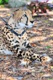 Gepard na smyczu w zoo (pionowo) Obraz Stock