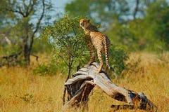 Gepard na starym drzewnym bagażniku Dziki kot, Acinonyx jubatus, gorący słoneczny dzień Szybki ssak na ziemi, Południowa Afryka G Zdjęcia Stock