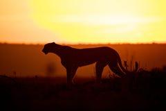 Gepard na zmierzchu w Afryka Fotografia Stock