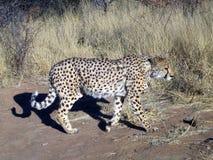 Gepard in Namibia Lizenzfreie Stockfotos