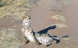 Gepard in Namibia Stockfotografie