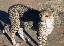 Gepard in Namibia Lizenzfreies Stockbild