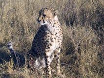 Gepard in Namibia Stockbild