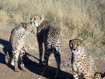 Gepard in Namibia Stockbilder