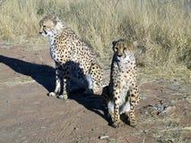 Gepard in Namibia Lizenzfreies Stockfoto
