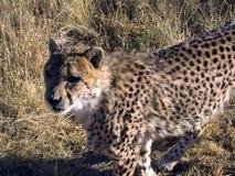 Gepard in Namibia Lizenzfreie Stockbilder