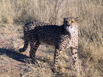 Gepard in Namibia Stockfoto