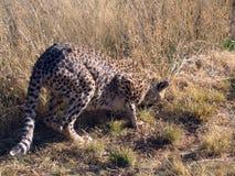 Gepard in Namibia Lizenzfreie Stockfotografie
