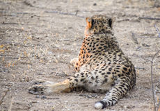 gepard Namibia Obrazy Royalty Free