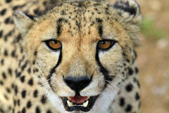 Gepard Namibia Royalty Free Stock Image