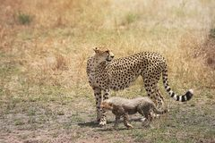 Gepard och hennes lilla gröngöling i masaien Mara, Kenya, Afrika royaltyfria bilder