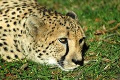 gepard odpocząć trawy Zdjęcia Stock