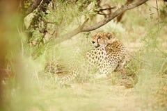 Gepard odpoczywa pod drzewem obrazy royalty free