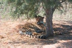 Gepard odpoczywa pod drzewem zdjęcie stock