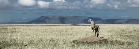Gepard ogląda wokoło w Serengeti parku narodowym na kopu Zdjęcie Royalty Free