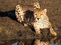 Gepard ogląda ciebie Zdjęcia Royalty Free