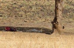Gepard osiąga szczyt wokoło drzewa Zdjęcie Royalty Free