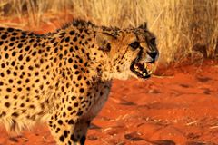 Gepard ostrzega jego przeciwnika - Namibia Kalahari Africa zdjęcia royalty free