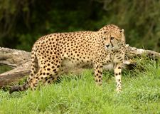 Gepard out dla spaceru po deszczu Fotografia Stock