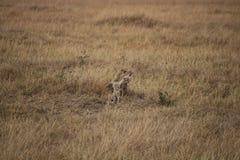 Gepard på safari Royaltyfri Foto