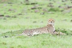 Gepard på savann, Masai Mara, Kenya Arkivbilder