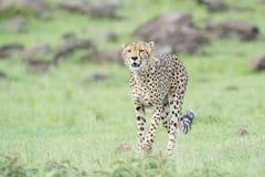 Gepard på savann, Masai Mara, Kenya Fotografering för Bildbyråer