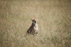 Gepard på savannet Arkivfoto