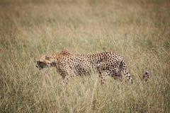 Gepard på savannet 2 Royaltyfri Foto