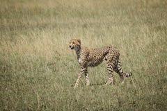 Gepard på savannet 5 Royaltyfri Fotografi