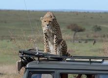 Gepard på taket av en landkryssare Tom Wurl Arkivbilder