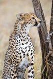 Gepard patrzeje po wrogów w Serengeti Zdjęcia Royalty Free