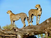 gepard podwójny Zdjęcie Royalty Free