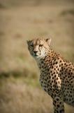 Gepard-Porträt Stockbild