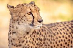 Gepard-Porträt Lizenzfreies Stockfoto