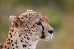 Gepard-Porträt Stockbilder