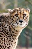 Gepard-Porträt stockfotos