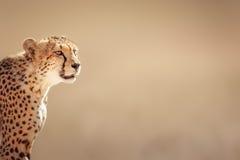 Gepard-Porträt Stockfoto