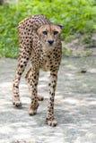 Gepard przemierza w klauzurze przy Singapur zoo w Singapur Fotografia Royalty Free