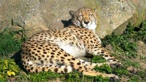 Gepard przy słońcem, Łaciasty drapieżnik Kłama puszek i Odpoczywać na trawie przy naturą zbiory