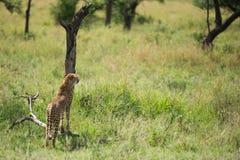 Gepard przy Serengeti parka narodowego gmeraniem dla jedzenia, Tanzania, Afryka Zdjęcia Stock