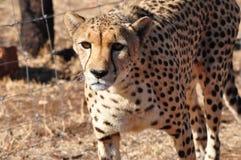 Gepard przyglądający przy ja up Zdjęcie Stock