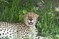 Gepard relaksuje po gościa restauracji. Zdjęcie Stock