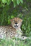Gepard relaksuje po gościa restauracji. Obraz Royalty Free