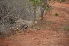gepard rodzina Zdjęcia Royalty Free