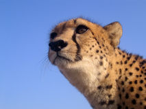 Gepard in Südafrika Lizenzfreie Stockfotografie
