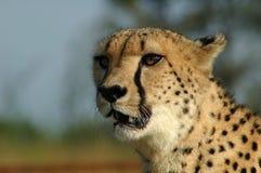 Gepard in Südafrika Lizenzfreies Stockfoto