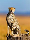 Gepard samiec, jeden trzy brata, Masai Mara Obrazy Stock