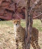 gepard samotny Zdjęcie Stock