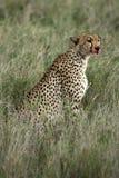 Gepard - Serengeti, Afrika stockbild